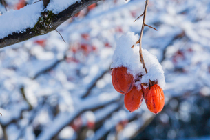 冬の熟柿の写真素材 [FYI03348894]