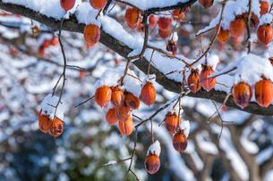 冬の熟柿の写真素材 [FYI03348899]