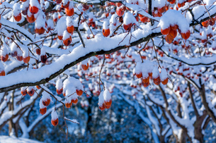 冬の熟柿の写真素材 [FYI03348904]