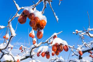 冬の熟柿の写真素材 [FYI03348907]