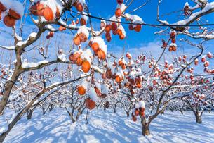冬の熟柿の写真素材 [FYI03348914]