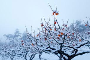 熟柿残る冬の柿畑の写真素材 [FYI03348932]