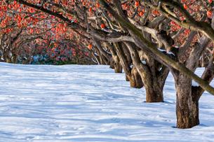 冬の柿畑の写真素材 [FYI03348960]