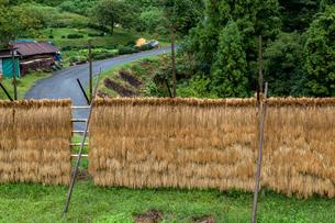 雨に濡れる稲架干しの稲と道の写真素材 [FYI03348983]