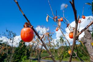 熟す柿の写真素材 [FYI03349022]