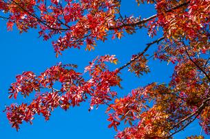 紅葉のナナカマドと青空の写真素材 [FYI03349027]