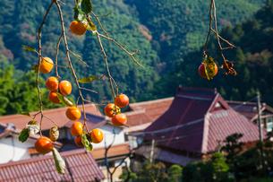 実る柿と集落の写真素材 [FYI03349034]