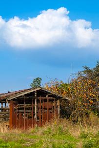 荒れる農小屋と柿の写真素材 [FYI03349042]