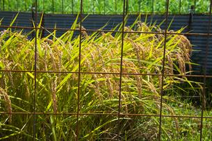 害獣除けの柵に囲まれた稲田の写真素材 [FYI03349099]