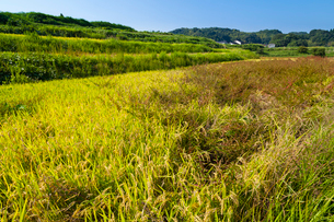 雑草の茂る稲田の写真素材 [FYI03349127]