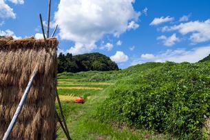 棚田の稲架干しと雑草に覆われた耕作放棄田の写真素材 [FYI03349191]