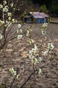 白梅と農小屋の写真素材 [FYI03349203]
