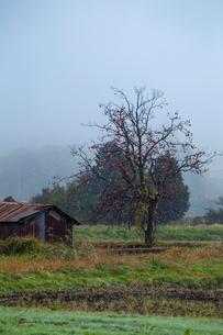 柿ノ木と農小屋の写真素材 [FYI03349250]