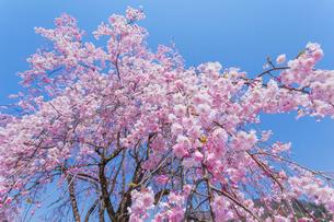 八重枝垂桜の写真素材 [FYI03349262]