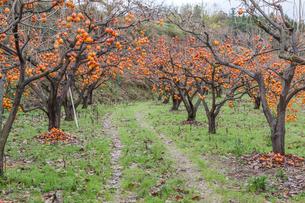 たわわに熟す柿畑の写真素材 [FYI03349331]