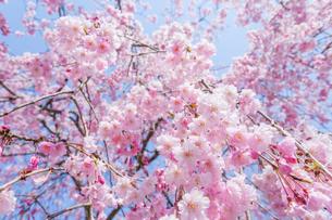 八重枝垂桜の写真素材 [FYI03349339]