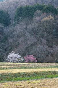 春の畦畔に咲く紅梅と白梅の写真素材 [FYI03349357]