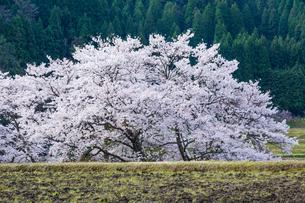 染井吉野と荒起こしの田圃の写真素材 [FYI03349359]
