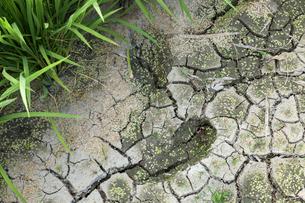 ひび割れた田面と稲の写真素材 [FYI03349386]