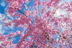 八重の枝垂桜と青空の写真素材 [FYI03349417]