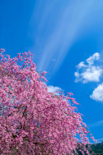 八重の枝垂桜と青空の写真素材 [FYI03349421]