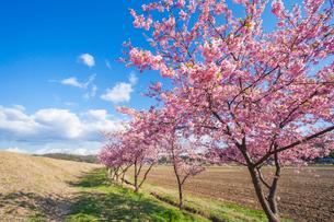 河津桜の並木の写真素材 [FYI03349422]