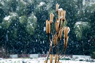 ユリの実殻と降雪の写真素材 [FYI03349428]