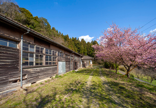 廃校舎と河津桜の写真素材 [FYI03349449]