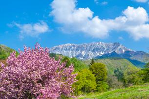 八重桜と大山南壁の写真素材 [FYI03349482]