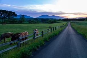 牧場のジャージー牛と道の写真素材 [FYI03349506]