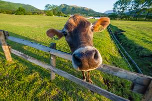 ジャージー牛の写真素材 [FYI03349507]
