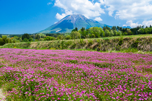 棚田のレンゲ畑と大山の写真素材 [FYI03349510]
