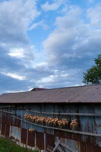 トタン壁の納屋と玉ねぎの写真素材 [FYI03349552]