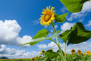 夏空に咲くヒマワリの写真素材 [FYI03349562]