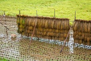 雨に濡れる稲架干しの稲と雨水溜まる田面の写真素材 [FYI03349572]