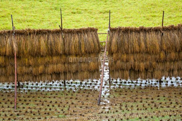 雨に濡れる稲架干しの稲と雨水溜まる田面の写真素材 [FYI03349575]