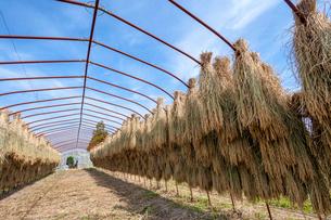 ビニールハウスの骨組みに干す稲の写真素材 [FYI03349603]