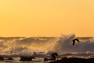 砕ける波頭と海鳥の写真素材 [FYI03349685]