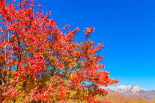 ナナカマドの紅葉と大山の写真素材 [FYI03349719]