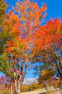 カエデの紅葉と大山の写真素材 [FYI03349730]
