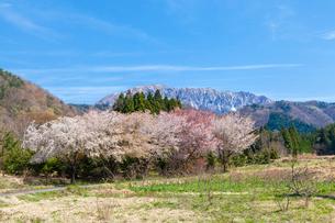 サクラ咲く山里と大山の写真素材 [FYI03349763]