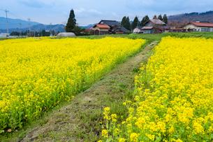 棚田に咲く菜の花と山里の写真素材 [FYI03349765]