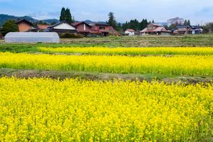 棚田に咲く菜の花と山里の写真素材 [FYI03349766]