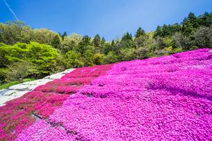 芝桜と新緑の写真素材 [FYI03349792]