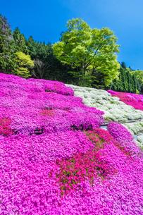 芝桜と新緑の写真素材 [FYI03349795]