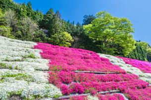 芝桜と新緑の写真素材 [FYI03349834]