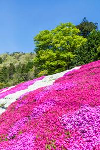 芝桜と新緑の写真素材 [FYI03349835]