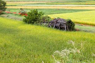 実る稲と壊れた稲架小屋の写真素材 [FYI03349930]