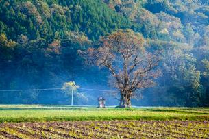 柿の古木と祠の写真素材 [FYI03349961]