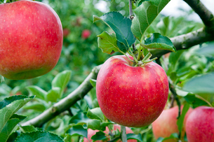 実るリンゴの写真素材 [FYI03350001]